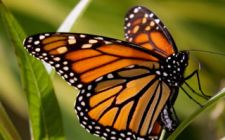 Monarch Butterfly Grove Is Open!